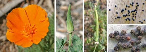 California Poppy, Eschscholzia californica – Master ...