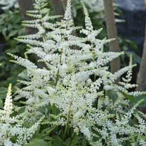 Astilbe 'bridal veil' from Wimbee Creek Farm