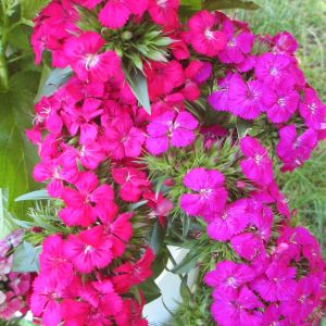 dianthus-amazon-neon-for-the-cutting-garden