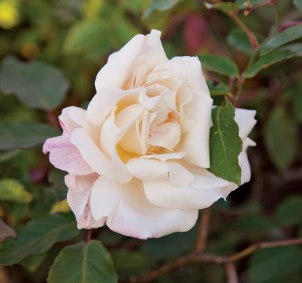 A valuable rose parent, Marie Van Houtte is a substantial specimen in the rose garden at Wimbee Creek Farm.