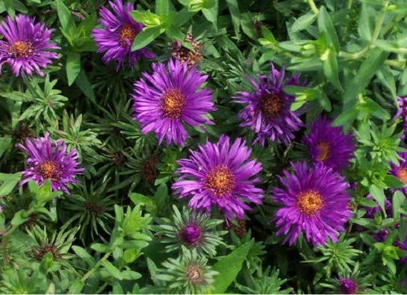 Deer and salt resistant aster purple dome from the nursery at Wimbee Creek Farm