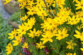 Coreopsis 'zagreb' from the nursery at Wimbee Creek Farm