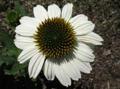 White petaled echinacea from the nursery at Wimbee Creek Farm