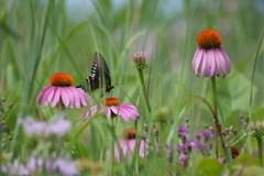purple coneflower is a deer resistant wildflower perennia nursery item at Wimbee Creek Farm.