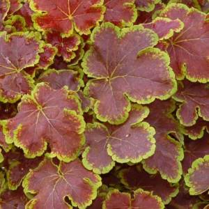 heucherella from the perennial garden at Wimbee Creek Farm.