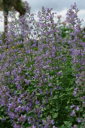 Nepeta Junior Walker available at the Wimbee Creek Farm Nursery Plant Sale.