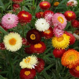 Half-hardy Helichrysum, or strawflower, is best treated as a cool flower in the south.