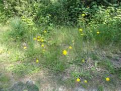 biggenkruid in het bos, een pad net genoeg storing om zich te kunnen voortplanten