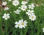 bloem en bloemknoppen grootbloemigmuur