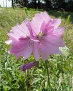 bloem muskuskaasjeskruid