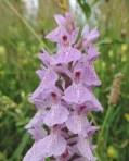 bloemen gevlekte orchidee