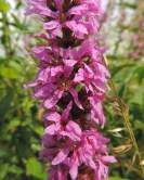 bloemen-kattestaart-2