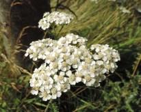 bloemscherm-duizendblad-1