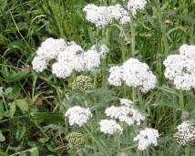 detail alchillea millefolium