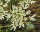 detail-bloem-kleine-bereklauw-1