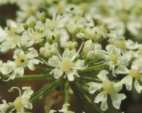 detail-bloem-kleine-bereklauw