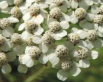 detail-bloemen-duizendblad-2