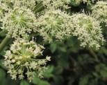 engelwortel-fragment-bloem-2