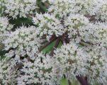 fragment bloemen engelwortel