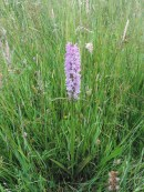 gestreepte orchidee 2