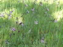 grasland met echte koekoeksbloem