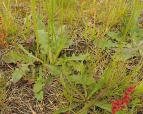 Hypochaeris radicata (5)
