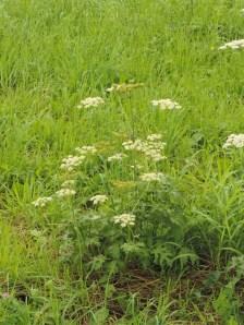 kleine-bereklauw-plant