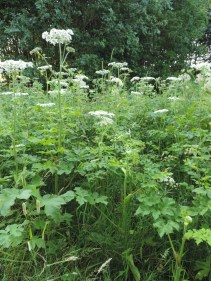 kleine-berenklauw-detail-plant