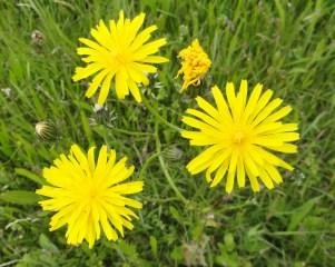 tijfhavikskruid detail van de bloemen