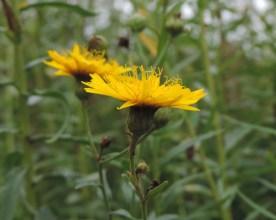 stijfhavikskruid zijkant bloem