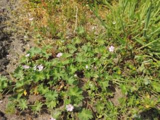 zachte-geranium-in-een-schrale-vegetatie