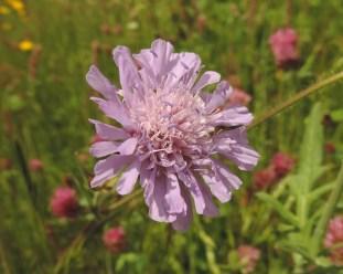 bloem beemdkroon