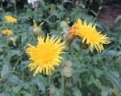 bloemen melkdistel
