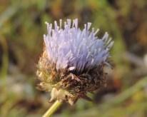 bloemen zandblauwtje (1)