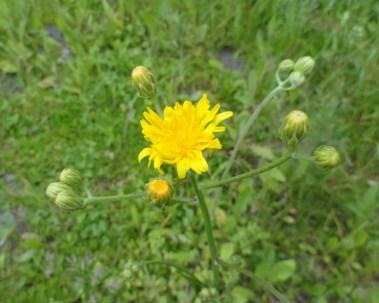 eerste bloem bloemscherm streepzaad