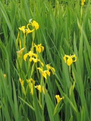 gele-lis-detail-plant