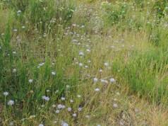 Jasione montana (6)
