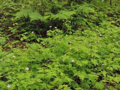 plant robertskruid