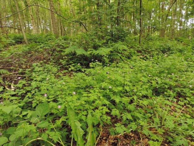 robertskruid in het bos