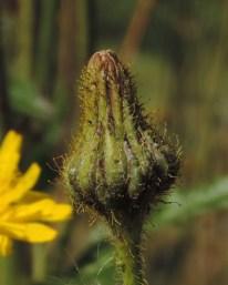 Sonchus arvensis (6)