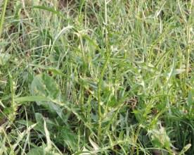 stengel en blad klein streepzaad