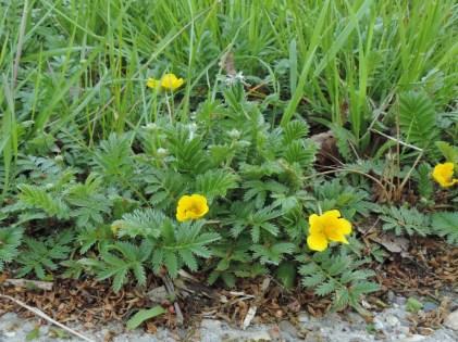 zilverschoon bloeiende plant