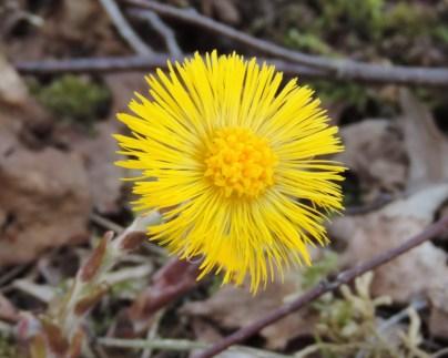 bloem kleinhoefblad