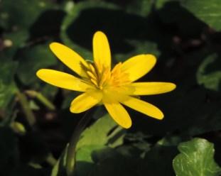 zijkant bloem speenkruid