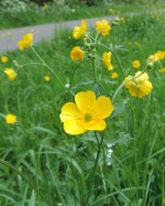bloeiwijze scherpe boterbloem