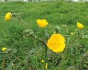 bloem en bloemkoppen scherpe boterbloem