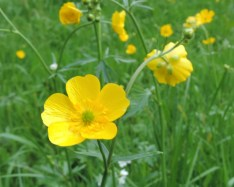 bloem scherpe boterbloem