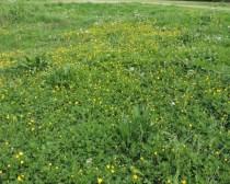 boterbloem op een verwaarlosde grasbem