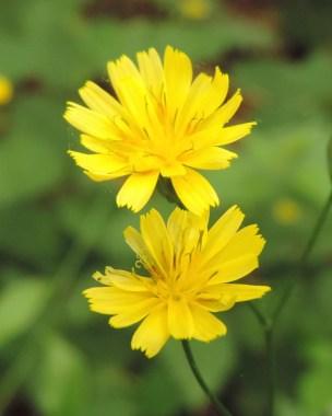 bloem-akkerkool-3