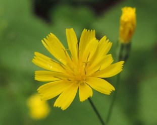 bloem-akkerkool-4